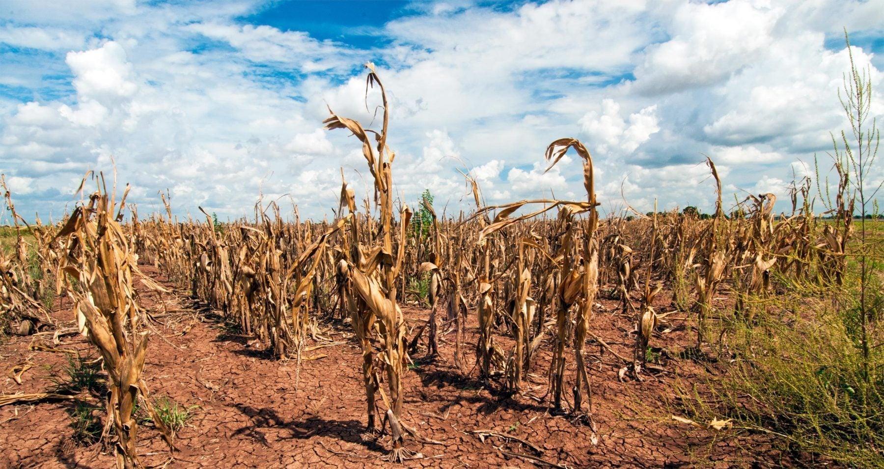 Texas corn field drought